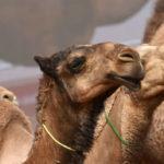 Dopage, 12 chameaux disqualifiés